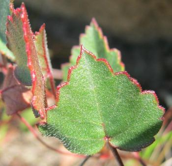 Pelargonium setulosum pointed leaves with toothed margins, covered in fine bristles (Jeff Shapiro, iSpot)