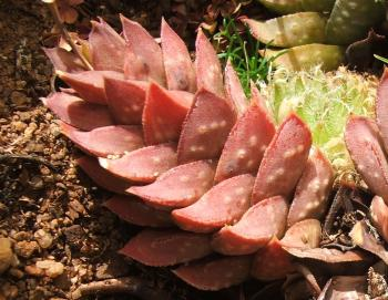 "asphodelaceae a distinct family from other A succulent oasis at sherman library & gardens  great ""geologic forces"" now divide the large central bed into three distinct  other genera from the family."