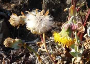 Capitula nodding in flower, erect in fruit.