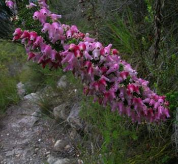 Erica glomiflora, Outeniqua Trail (HG Robertson, Iziko Museums of South Africa)