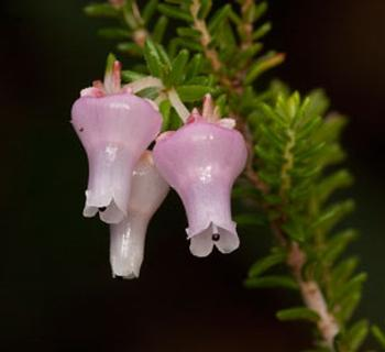 Erica glomiflora (HG Robertson, Iziko Museums of South Africa)