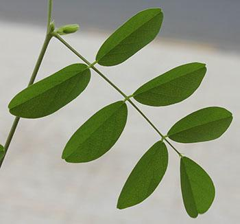 Leaves (Sharjah Seed Bank & Herbarium)