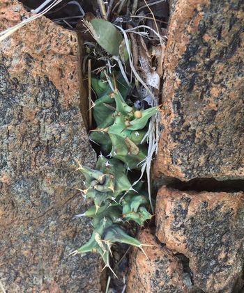 Euphorbia groenewaldii grows among rocks (Seloba Chuene)
