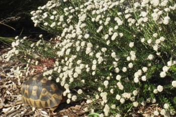 A tortoise eating the leaves of Trichocephalus stipularis in Kirstenbosch