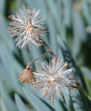 Seeds have a pappus of long, fine, white bristles