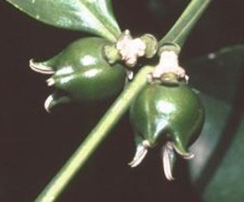 Greenish brown fruits crowned with 3 horns (Pitta Joffe)