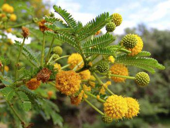 Flowers are clusters of bright yellow balls hidden among the leaves (Geoff Nichols)