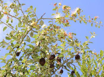 Capparis tomentosa, in flower and with old fruits (Antoinette Eyssell, iSpot)