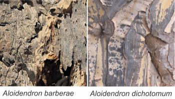 Bark of Aloidendron barberae (left) and A. dichotomum (right)