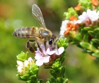 The flowers are visited by hoverflies, bees and butterflies