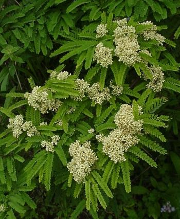 Dalbergia armata, acacia-like foliage and fragrant white flowers in early summer. (Geoff Nichols)