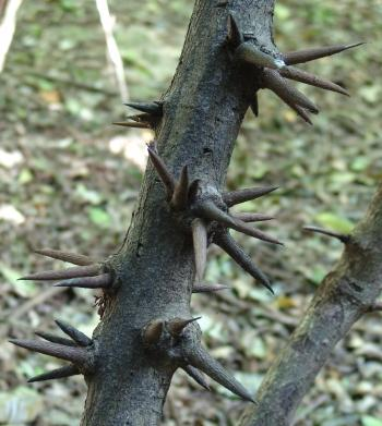 Dalbergia armata, is armed with strong, woody spines. (Geoff Nichols)