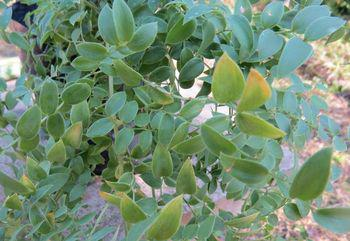 The 'leaves' are flattened stems that resemble leaves