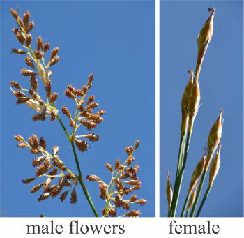 Male flowers (left), female flowers (right)