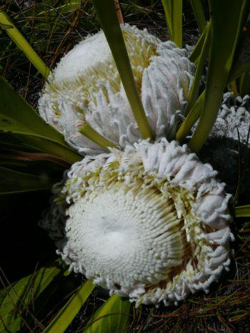 The Snow Protea in bud and sometimes in flower, also has a frosty appearance.