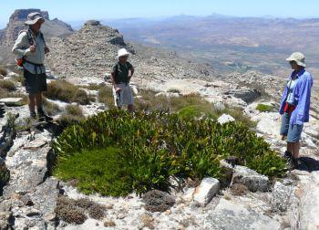 An approx. 3 m diameter plant in habitat on Shadow Peak, Cederberg Mountains.