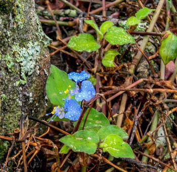 Commelina benghalesis (Graham Grieve)