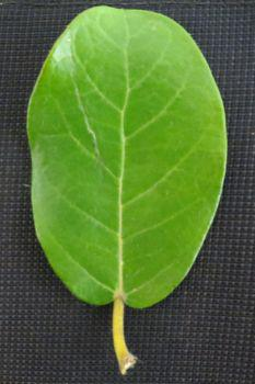 Leaves are oval to oblong, dark green and smooth on the upper surface.