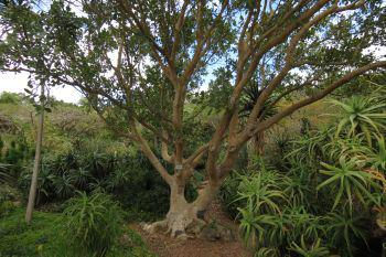 Ficus glumosa growing in the Mathews Rockery, Kirstenbosch.