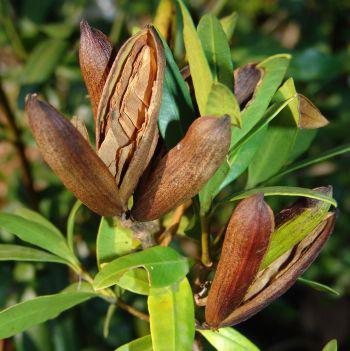 Paired woody capsules split open to release winged seeds (Geoff Nichols)