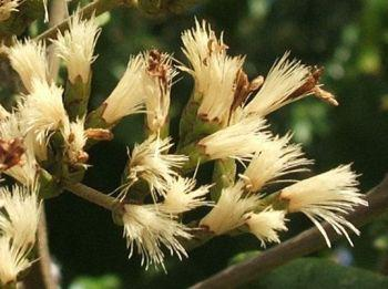Fluffy white seeds appear soon after flowering.