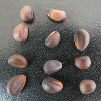 Thespesia acutiloba seeds