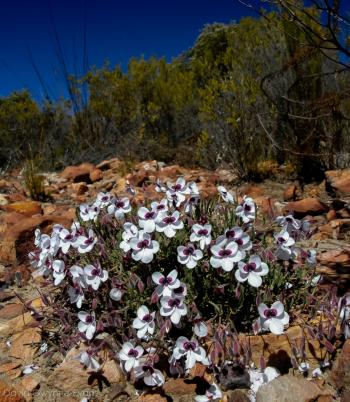 Pelargonium tricolor occurs in arid fynbos (Photo David Gwynne-Evans)