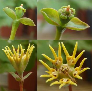 Crown-like yellow cyathium is several male flowers encircling the female flower