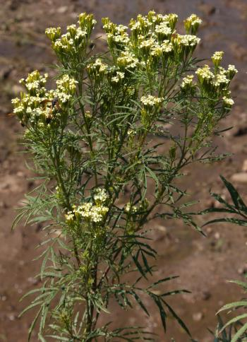 Tagetes minor, habit