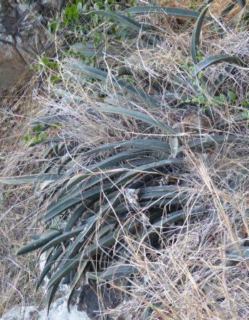 Sansevieria hallii. Growing on the embankment of a river at the Gonarezhou National Park, southeastern Zimbabwe.