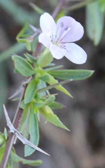 Barleria virgula, spiny calyx lobes and bracteoles at the base of each flower.