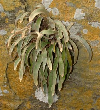 Pyrrosia schimperiana growing on a cliff at Mariepskop, Blyde River Canyon.