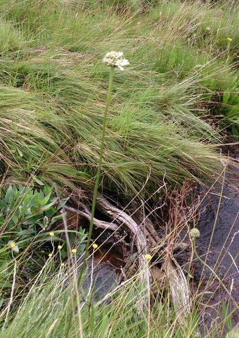 Cephalaria pungens growing beside a stream in habitat.