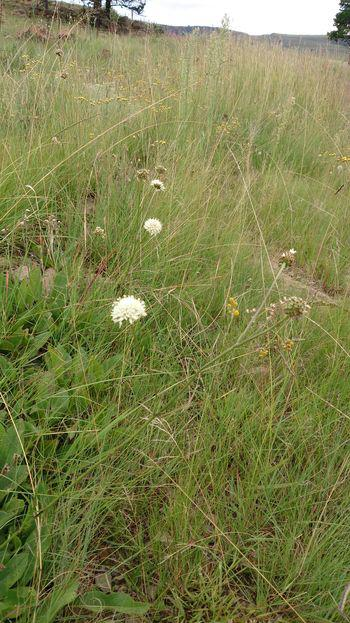 Cephalaria pungens prefers upland grasslands, streamsides, forest margins and swampy areas.