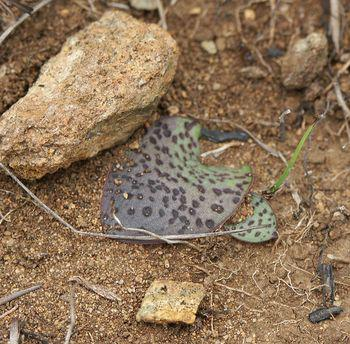 Grows in short, high-altitude grassland on and around the high peaks of the Mokobolwane Mountain Range.