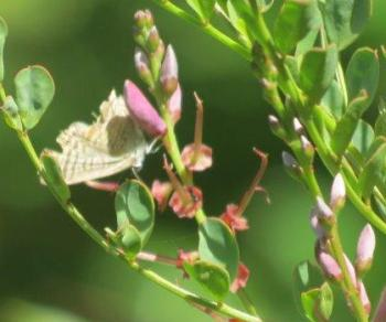 Indigofera langebergensis, flowers attract butterflies and ants are often seen on the plants.