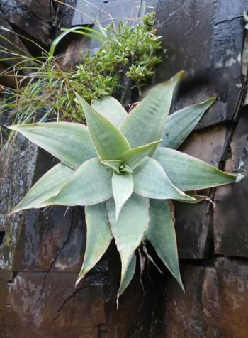 Aloe reynoldsii is only known from sheer, southeast- and south-facing, shale cliffs along the Mbashe River.