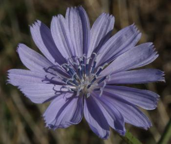 A single flower head of Cichorium intybus.