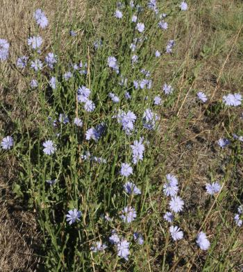 Cichorium intybus in flower, growing on the roadside.