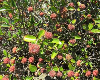 Cephalanthus natalensis, reddish, pinkish or whitish fruits ripen in mid to late summer.