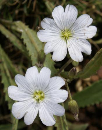 Cerastium arabidis flowers, showing shape and colour of the petals (Harrie de Vries).