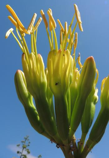Agave americana, funnel-shaped greenish yellow flowers.