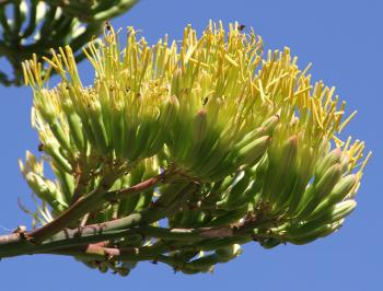 Agave americana, flowers in panicles.