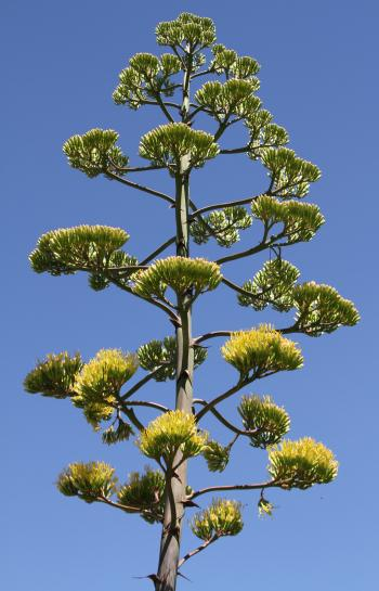 Agave americana produces a single, erect inflorescence up to 9 m tall.