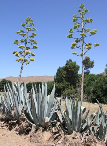 Agave americana is often seen growing along roadsides in South Africa.