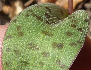 Ledebouria papillata, upper leaf surface, showing rows of papillae.