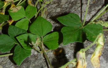 Rhynchosia caribaea, trifoliate, heart-shaped leaves (Geoff Nichols).