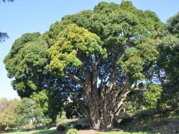 80 year old Ficus craterostoma in Kirstenbosch.