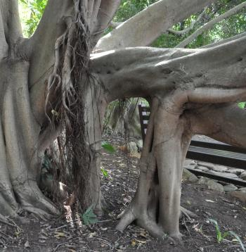 Ficus craterostoma, rooted aerial roots, Kirstenbosch NBG.