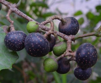 Rhoicissus tridentata, clusters of red to black edible grape-like berries. (Geoff Nichols)
